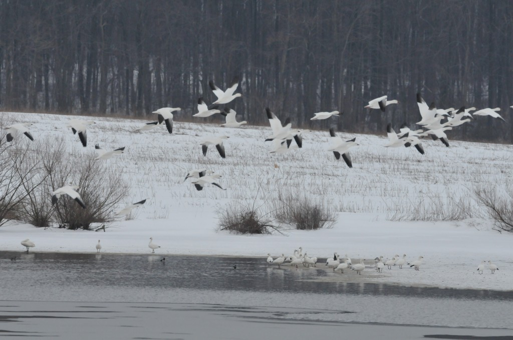 Snow Geese at Middle Creek Wildlife
